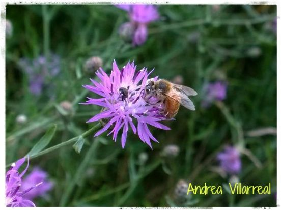 Bee on Knapweed2 w name